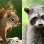 Are You a Squirrel or a Raccoon?